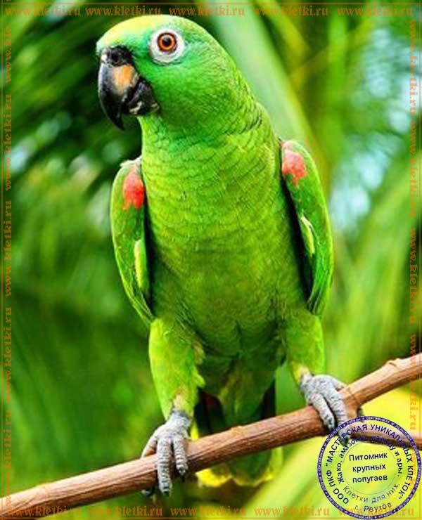 Сколько стоит попугай амазон